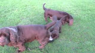 'Shelly' Sussex Spaniel Puppy 'First taste of freedom'