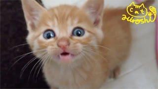 茶トラ子猫拾って次の日 めっちゃ元気ッ! Cute stray cat Hiroshi: First day home thumbnail