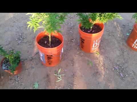 Legal Cannabis Grow Outdoor Update (7-23-16)
