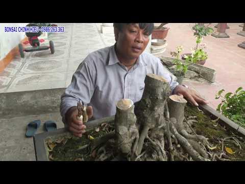 Cắt tan cây Sanh 3 thân mua 7 triệu cách đây 2 năm. Trở về con số O.