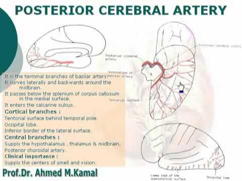 74uroanatomy Posterior Cerebral Artery Youtube