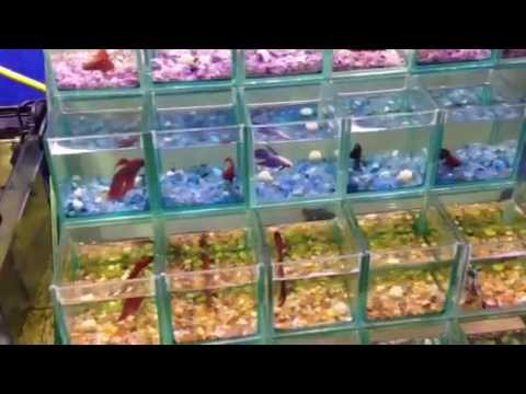 Tips for breeding siamese fighting fish from paultalbot for Fighting fish tank
