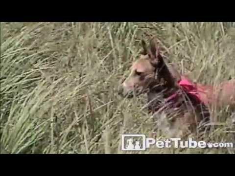 Dog Raised by Gazelles- PetTube