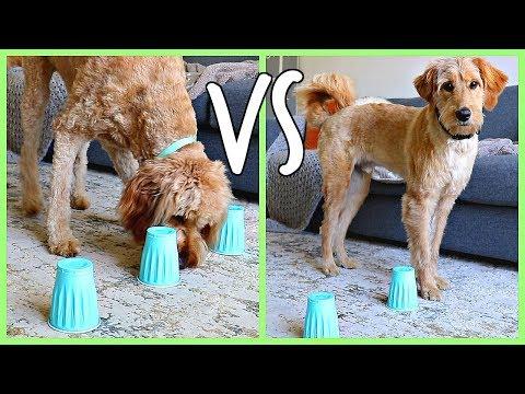 PUPPY VS ADULT GOLDENDOODLE! DOG INTELLIGENCE TEST!