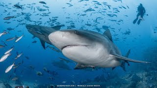 Bull shark diving in Beqa Lagoon, FIJI 2019 (4k)