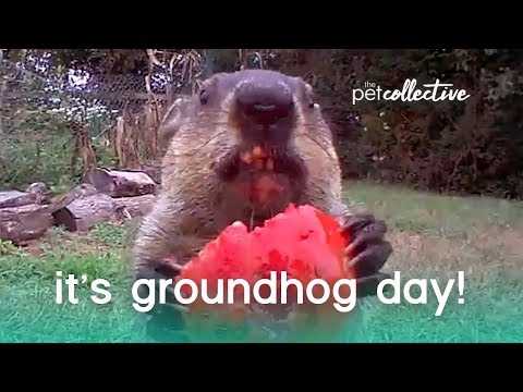 It's Groundhog Day! | The Pet Collective