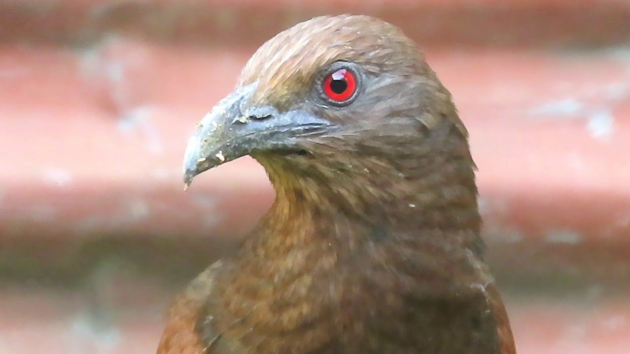 Angry Looking Greater Coucal Visits My Backyard Again