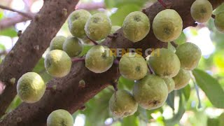 GHANA'S FIRST APPLE TREE DISCOVERED