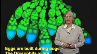 Trudi Schupbach (Princeton Univ) Part 1 Axes formation in the Drosophila Egg