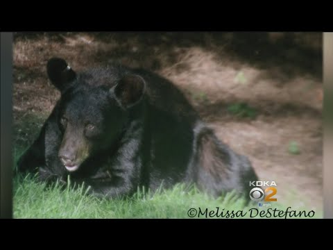Murrysville Residents Unnerved By Wild, Unwelcome Visitor