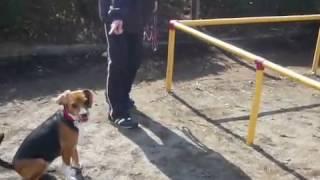 うまく行かないジャンプ 言いてる事が分かるビーグル犬です。 曲がって...