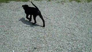 Sonny - Lab Mix Puppy - Available For Adoption At Gibson County Animal Services