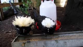 3 nieuwe kipjes