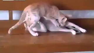 +16 Amateur Couples of Cats in 69 Position
