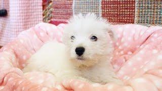 http://passerellewan.jp/puppies/?type=55.