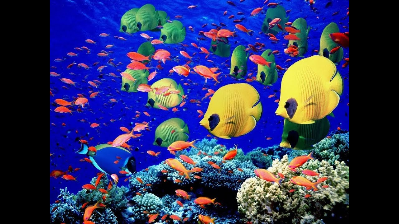 Amazing school of tropical fish hd youtube for School of fish