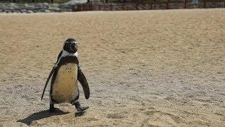 フンボルトペンギンのミドリは男の子。この飼育員さんが大好きなのです...