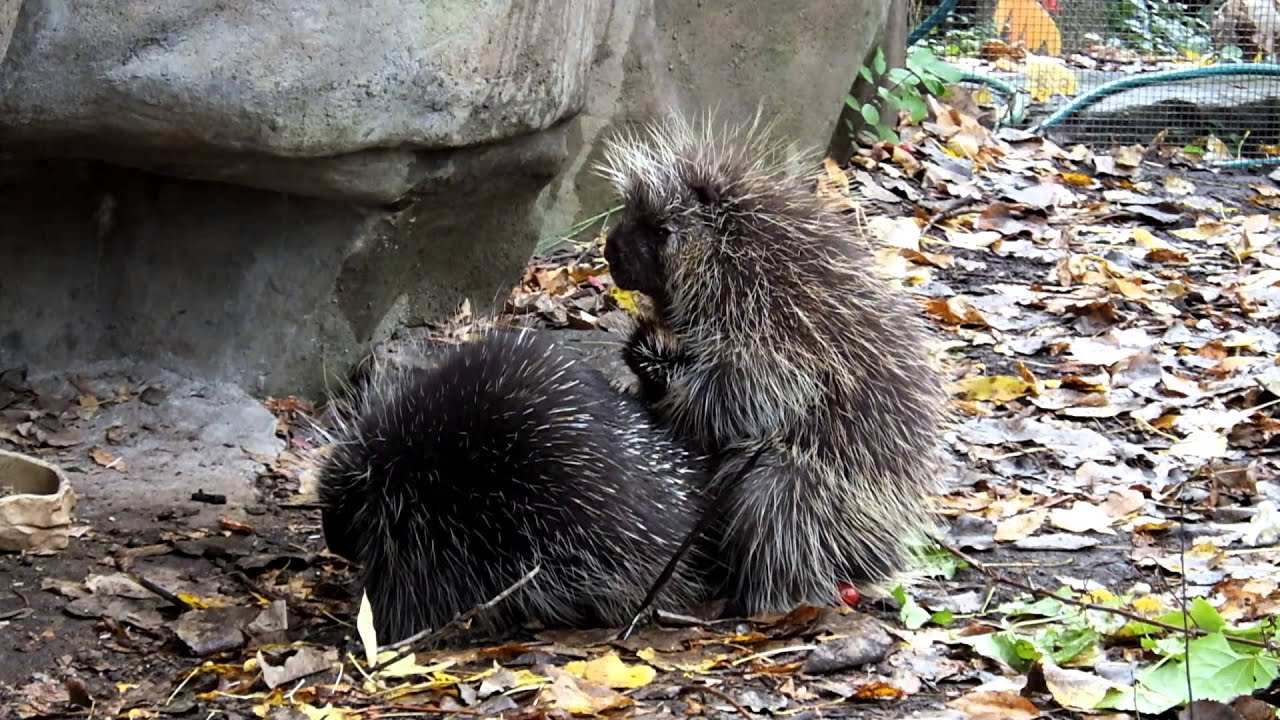 Porcupine Mating - Youtube-1592