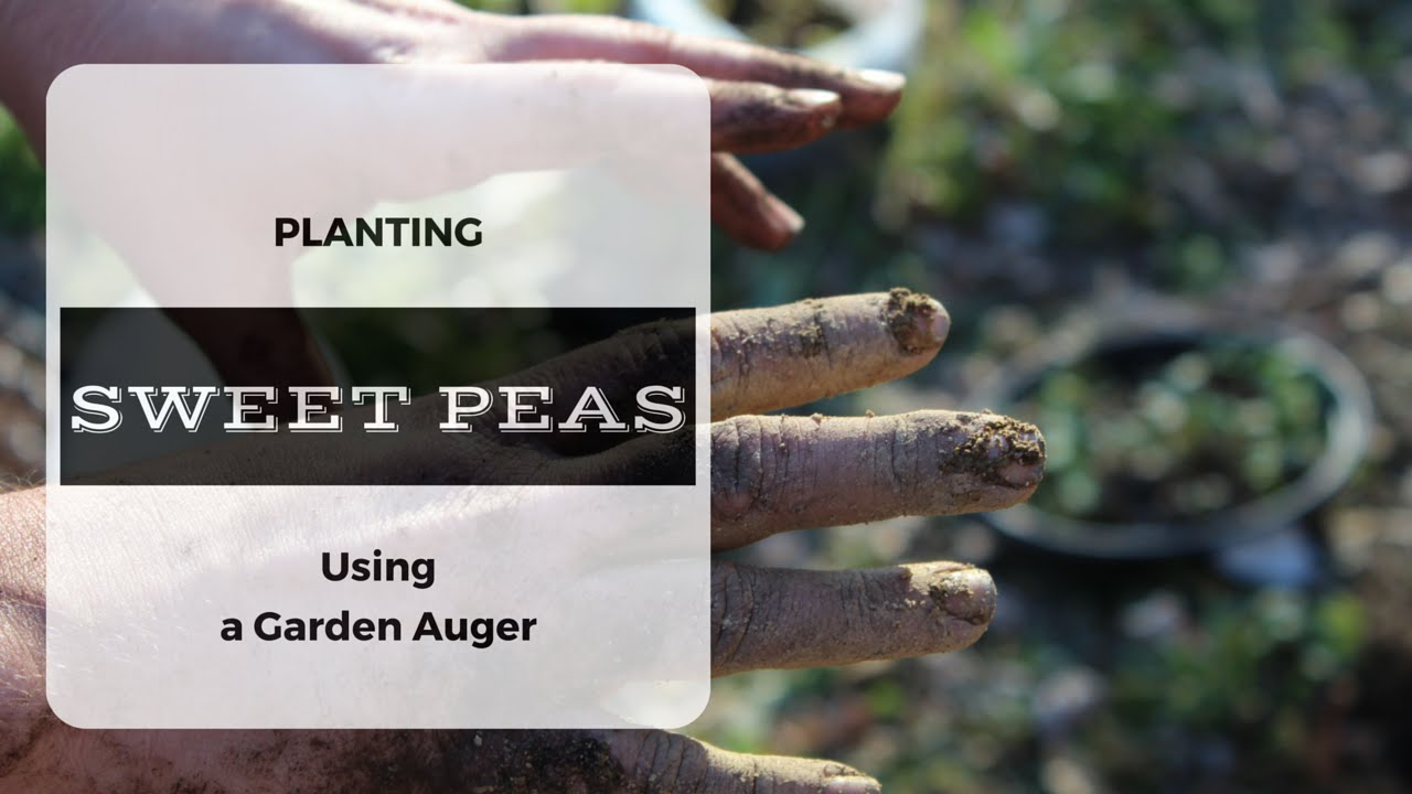 how to use a garden auger to plant ornamental sweet peas lathyrus odoratus youtube - Garden Auger
