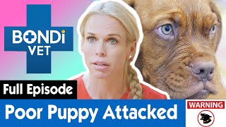 🐶 Puppy Ripped From The Jaws Of a Mastiff Dog | S09E07 | Bondi Vet