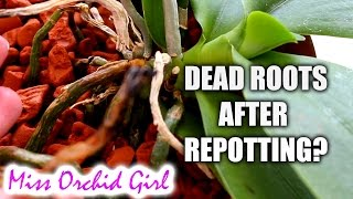 Why do Phalaenopsis Orchid roots die after repotting?