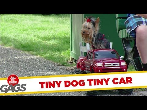 Tiny Dog Drives Away With Tiny Car
