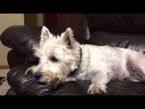 Bailey the Westie Gets TV Dogs