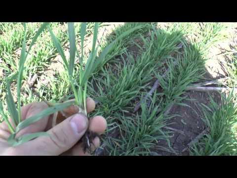 13 апреля работа гербицидов гна пшенице