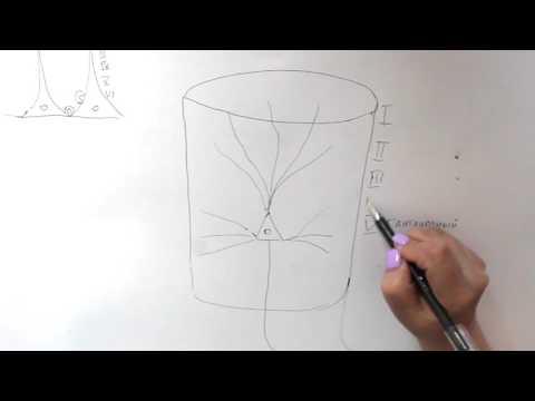 Модульная организация коры больших полушарий