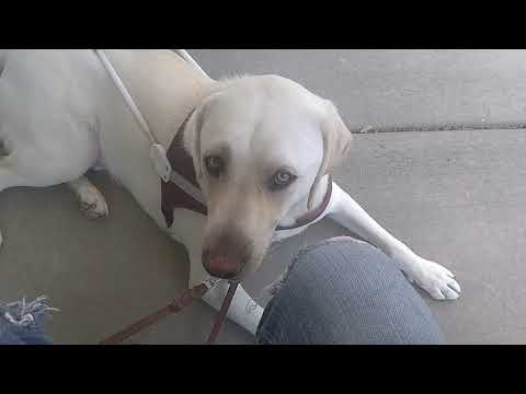 All About My Guide Dog Huckleberry