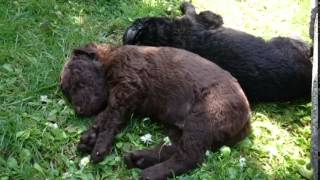 Just a curly coated retriever (The Peppa litter)