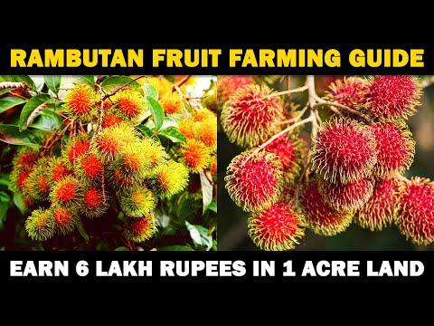 rambutan-fruit-farming-|-how-to-grow-rambutan-plant-from-seed-at-home