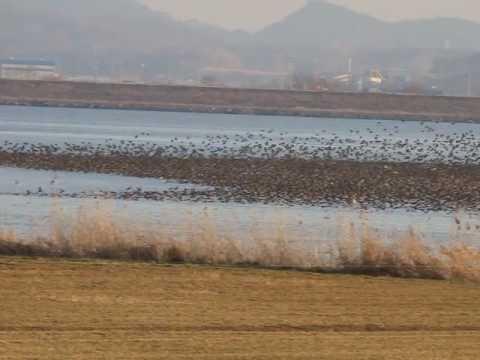 Flock of 200 000 Baikal Teals in South Korea, February 2017