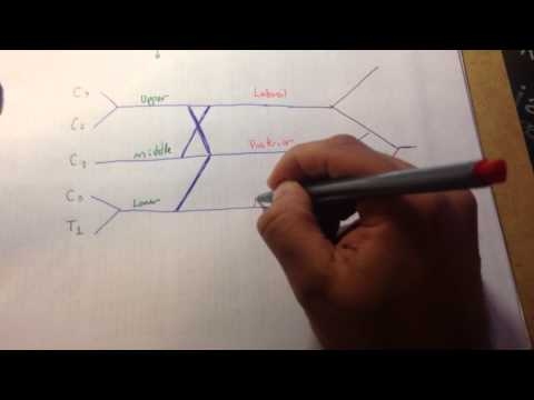 how to draw the brachial plexus in 5 minutes