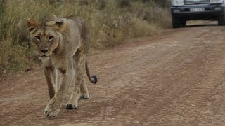 Lions On The Loose: Another escaped great cat spotted in Nairobi