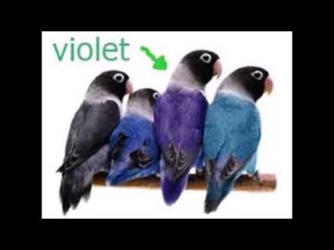 1000 jenis lovebird violet