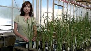 Research helps keep abundant rice supplies in California