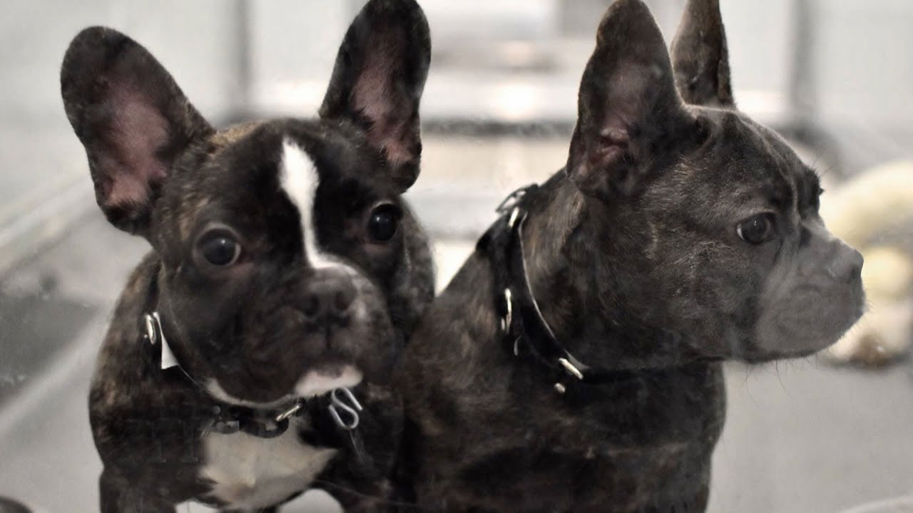 French Bulldogs Rescued From Horrific Conditions At Empty Chicago Warehouse With Help Of Dr. Phil