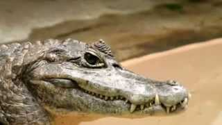 Caiman facts: 20 facts about Caimans