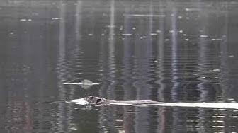 Kanadanmajava Haukivedellä