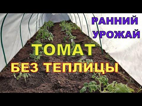 ПОСАДКА ТОМАТА для раннего урожая без теплицы