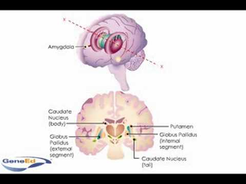 Anatomy and Diseases of the Basal Ganglia
