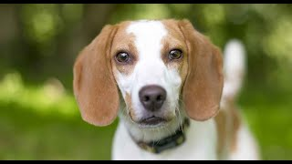 English Foxhound | ONE BREED IN ONE MINUTE