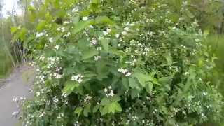 Волчеягодник (волчьи ягоды, волчник, волчье лыко, плоховец, пухляк)