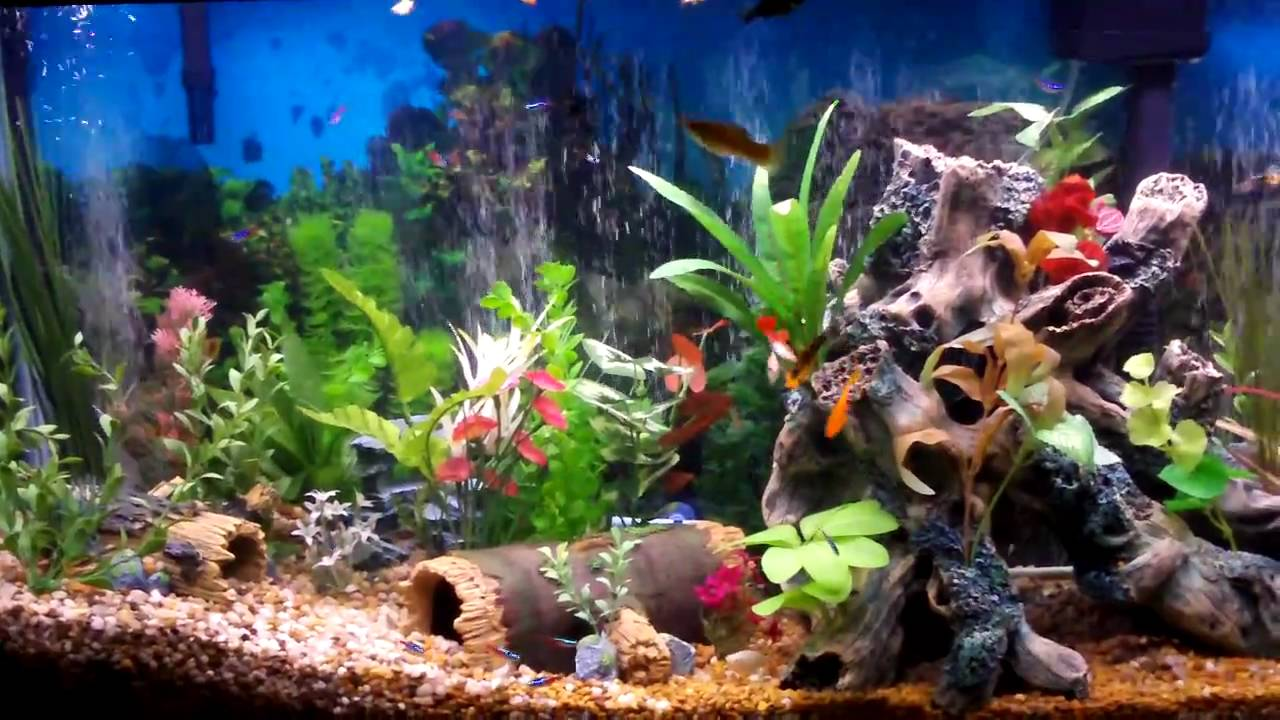 Freshwater community aquarium fish wallpapers gallery for Coolest freshwater fish