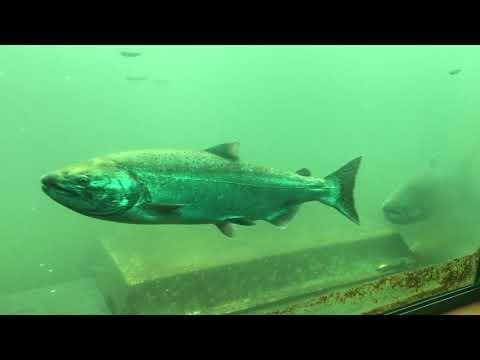 Bonneville Dam Fish Ladder September 4, 2019
