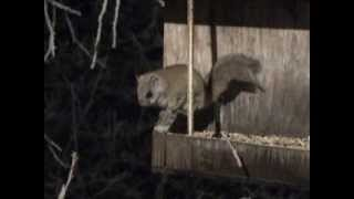 Flying Squirrel Feeding In Bird Feeder