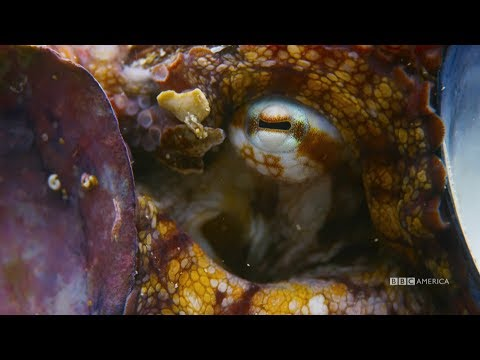 Blue Planet II Shows How One Octopus Outsmarts a Shark by Covering Itself in Shells
