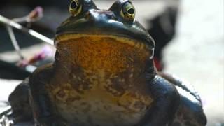Skoisters-Benny Bullfrog