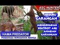 Berburu Hama Garangan Predator Karnivora Memakai Jontrot Asli By Asc Hunter  Mp3 - Mp4 Download